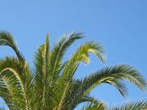 Close up of a bright green vibrant tropical palm tree top with fronds against a bright blue summer sunlit sky. A close up of a bright green vibrant tropical palm stock images
