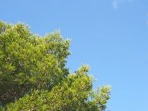 Close up of a bright green vibrant tropical pine tree top against a bright blue summer sunlit sky stock photos