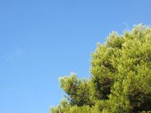 Close up of a bright green vibrant tropical pine tree top against a bright blue summer sunlit sky stock photo
