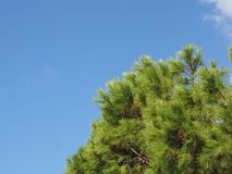 Close up of a bright green vibrant tropical pine tree top against a bright blue summer sunlit sky stock image