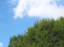Close up of a bright green vibrant tropical pine tree top against a bright blue summer sunlit sky with white cloud stock photography