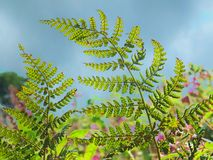 A close up of bright green wild fern leafs illuminated by sunlight glowing though the foliage against a blue cloudy sky royalty free stock photos
