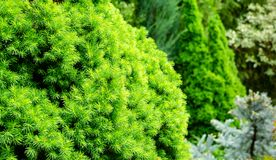 Close-up bright green young short needles of the Canadian spruce Picea glauca Conica. In focus on left on blurred background of evergreen colorful garden on the royalty free stock photo