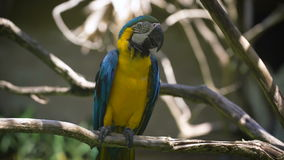 Close up of bright indian parrot with yellow body and blue wings sitting on the perch. Large long-tailed macaw with. Brightly coloured plumage is living in the stock video footage