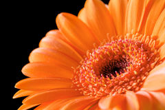Close up bright orange gerbera. Flower Royalty Free Stock Photography