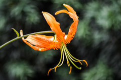 Close up of bright orange tiger lily flower. Lilium tigrinum Stock Photo