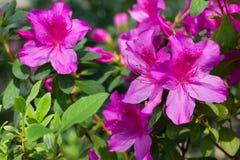 Close-up of bright pink azalea. Royalty Free Stock Photography