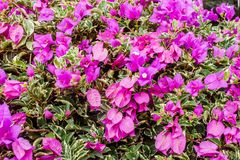 Closeup of bright pink bougainvillea blossoms as a background Stock Image
