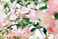 Flowering crabapple, Malus halliana, or Begonia. pink Flower, closeup. stock photography