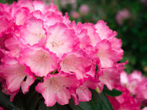 Close up of bright pink Rhododendron blossoms in bloom on bush. Stock Photography