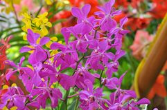 Close up of bright purple orchid flower. In Malaysia with background bokeh Stock Photo