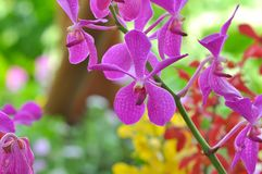 Close up of bright purple orchid flower. In Malaysia with background bokeh Royalty Free Stock Photos
