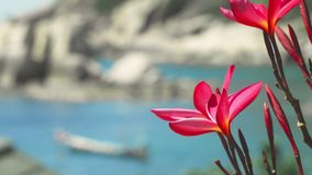 Close up of bright red blossom plumeria flowers in front of the ocean bay with some huge granite rocks and defocused. Long tail boat wiggle in the wind stock video footage