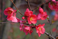 Close up of bright red flowers of spitfire flowering quince. In early spring Stock Photos