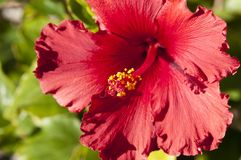 Close up of bright red Hibiscus Royalty Free Stock Images