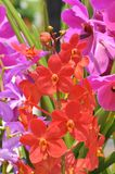 Close up of bright red orchid flower. In Malaysia with background bokeh Stock Images