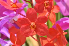 Close up of bright red orchid flower. In Malaysia with background bokeh Royalty Free Stock Image