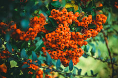 Close up of bright red pyracantha berries on tree Royalty Free Stock Photos
