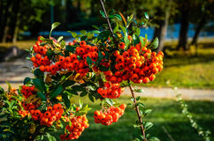Close up of bright red pyracantha berries on tree Royalty Free Stock Image