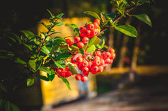 Close up of bright red pyracantha berries on tree Stock Images