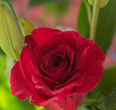 Close-up of a bright red rose with dew drops, macro image. Bright red rose with dew drops. Macro image, close-up, shallow depth of field Royalty Free Stock Images