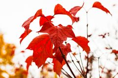 Close-up of bright red viburnum leaves. Against the white sky royalty free stock photos