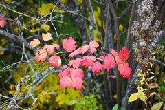 Close-up of bright red viburnum leaves. With an autumn forest in the background royalty free stock photos