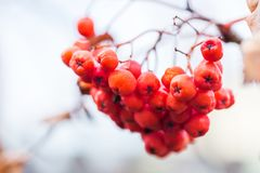 Close-up of bright rowan berries on a tree. Close up of bright rowan berries on a tree stock photography