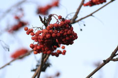 Close-up of bright rowan berries. Rowan tree, Close-up of bright rowan berries on a tree on a sunny day Stock Image