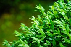 Close-up of bright shiny wet young green foliage of boxwood Buxus sempervirens as the perfect backdrop for any natural theme