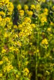 Close-Up of bright yellow rapeseed plant with red ladybug on it. On the background there is canola field stock image