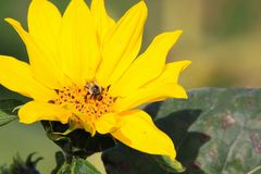 Close up of bright yellow sunflower bloom Helianthus annuus with isolated pollinating bee - Viersen, Germany stock photo