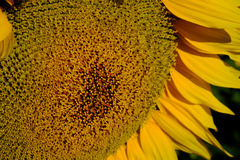 Close up of a bright yellow sunflower in Southern Queensland Royalty Free Stock Photos