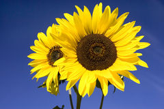 Close up of bright yellow sunflowers. Stock Photos