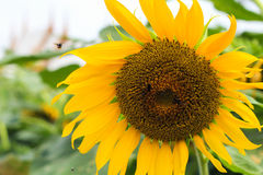 Close-up Bright yellow sunflowers on green background Stock Image