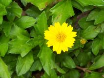 Bright Yellow trailing daisy groundcover. A close up of a bright Yellow trailing, Ox-eye, Daisy ground cover blooming against a bright green background of leaves royalty free stock photo