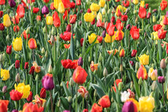 Close up of a brightly coloured tulip field.  Royalty Free Stock Photo