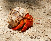 Red hermit crab in the shell house stock photography