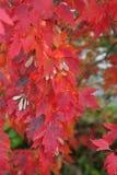Close up brilhante da árvore de bordo vermelho imagens de stock royalty free