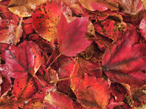 Close-up of brilliant red maple leaves Stock Image