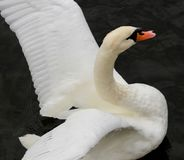 Close up brilliant white swan with red beak flapping wings against black river. Close up of head wings and chest of brilliant white swan with red beak flapping royalty free stock photos
