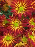 A Close-up of Brilliantly colored Chrysanthemums stock photo