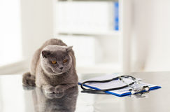 Close up of british cat at vet clinic stock image