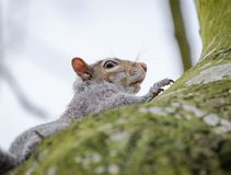 Close-up of a british grey squirrel seen resting on a large tree in a forest clearing. Stock Image