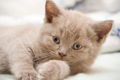 Close-up British Kitten Royalty Free Stock Images