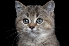 Close-up British kitty. Isolated on black Stock Images
