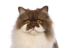 Close-up of a British Longhair, 10 months old, looking at the camera. In front of white background Royalty Free Stock Images