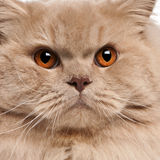 Close-up of British longhair cat. 15 months old Stock Photo