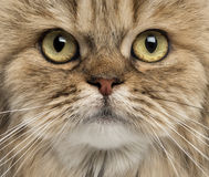 Close-up of a British Longhair facing Royalty Free Stock Images