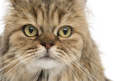 Close-up of a British Longhair, isolated. On white Stock Photography